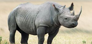 Black Rhino Extinct
