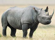 Black Rhino Habitat and Causes of Being Endangered