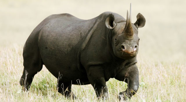 Black Rhino Picture