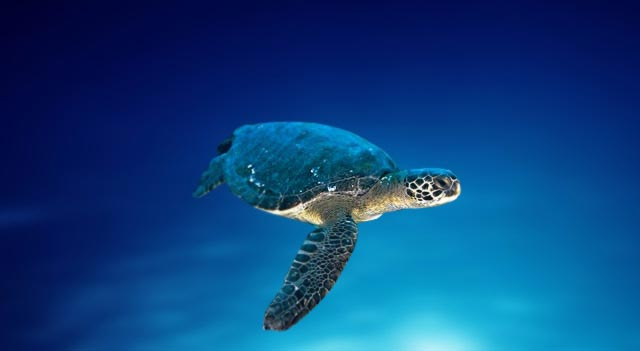 Black Sea Turtles