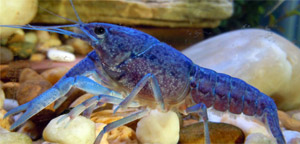 Animals with Blue-Colored Blood - Blue Crayfish