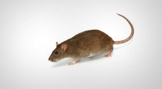 Common rat or Brown rat