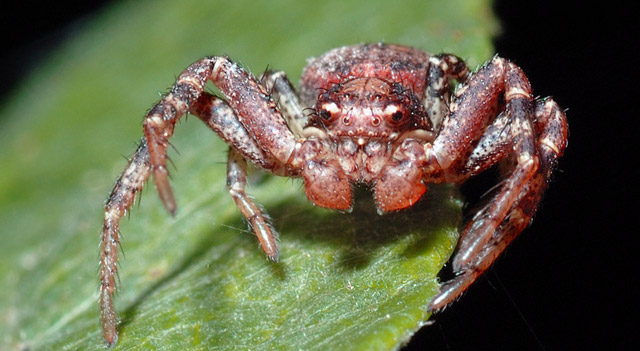 Animals with Blue Colored Blood - Crab Spider