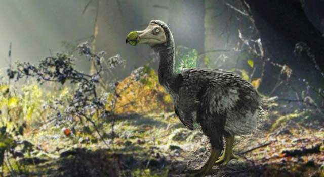 Real dodo bird photo