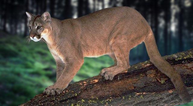 eastern puma habitat