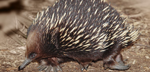 Echidnas Full View