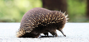 Echidnas Some Eating View
