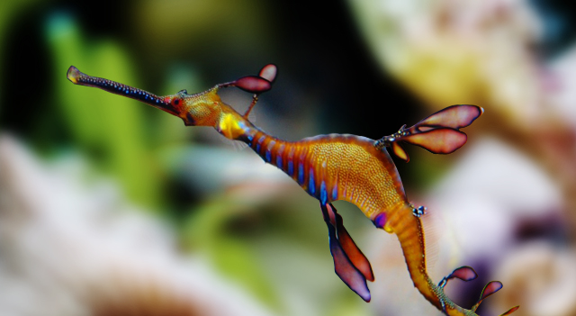 Facts about Leafy Seadragon Picture