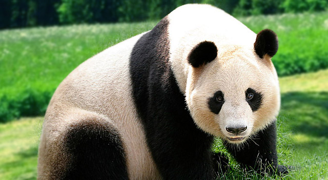 Facts about Endangered Animals Panda