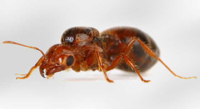 Top 10 Extremely Dangerous Insects - Fire Ants
