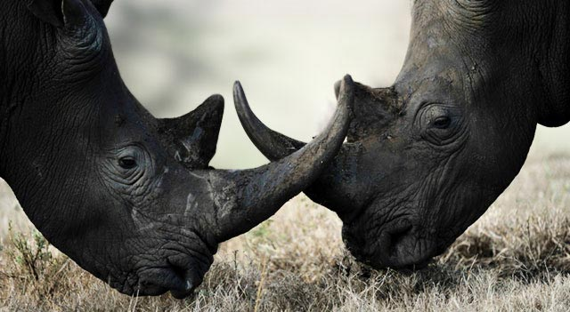 Black Rhino or Hook-Lipped Rhinoceros Picture