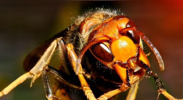 Top 10 Extremely Dangerous Insects - Japanese Giant Hornet