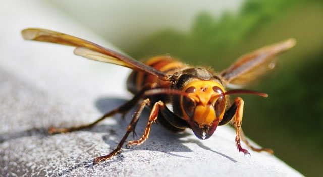 Top 10 Extremely Dangerous Insects - Killer Bees