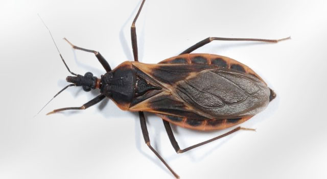 Top 10 Extremely Dangerous Insects - Kissing Bug