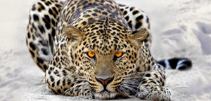 Leopard Is Aiming At Prey