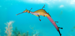 Lovery Leafy Seadragon Picture