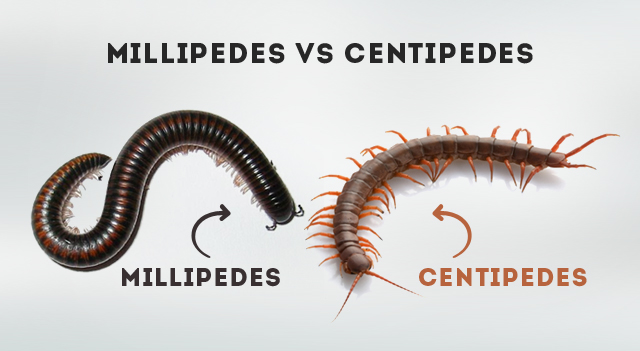 Millipedes Vs Centipedes - Major Difference About Habits