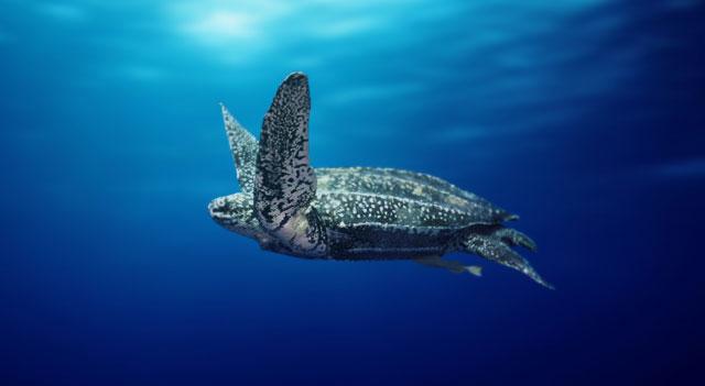 Pacific Leatherback Turtle