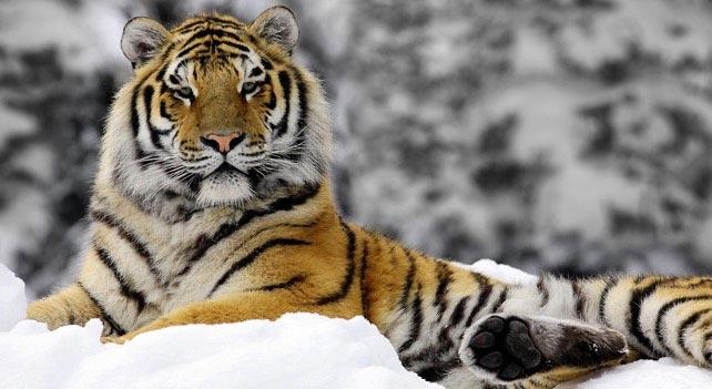 Resultado de imagen de siberian tiger