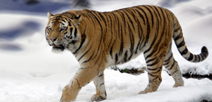 Siberian Tiger On Snow Picture