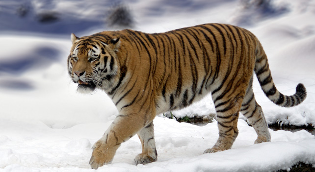 Siberian Tiger Vs Lion - Animal Facts-2062