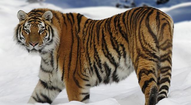 Liger  A Lion amp Tigress Hybrid