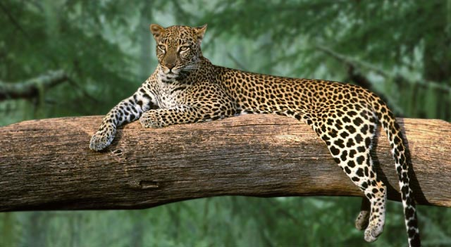 South Arabian Leopard