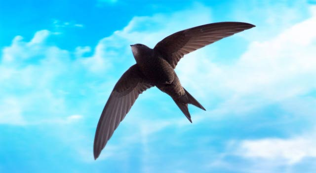 Spine Tailed Swift