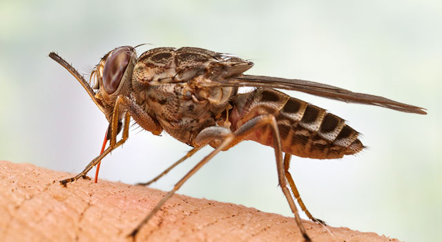 Top 10 Extremely Dangerous Insects - Tsetse Fly