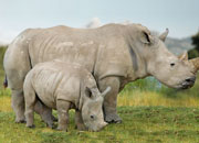White Rhino Facts and Pictures - Why Endangered?