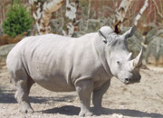 http://www.liveanimalslist.com/interesting-animals/images/white-rhinoceros.jpg