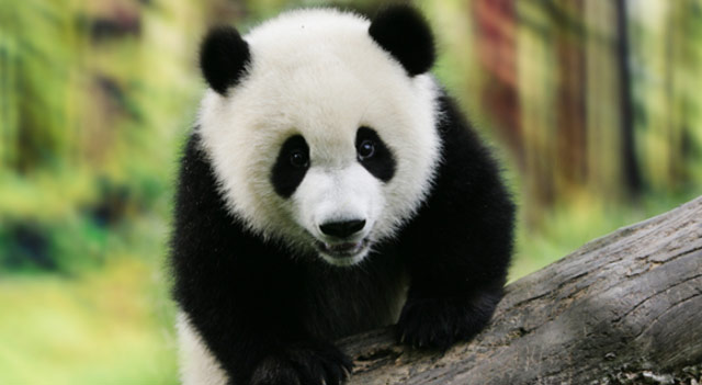 panda extinction The giant panda's gut microbes  the peculiar characteristics of its gut microbiota may put it at high risk of extinction the giant panda is arguably.