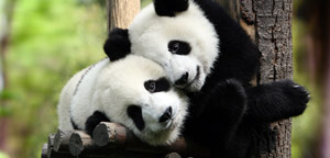 Why are Pandas Endangered Picture