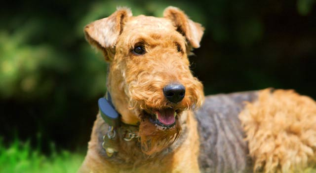 Airedale Dog