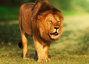 Average Life Span Of A Lion