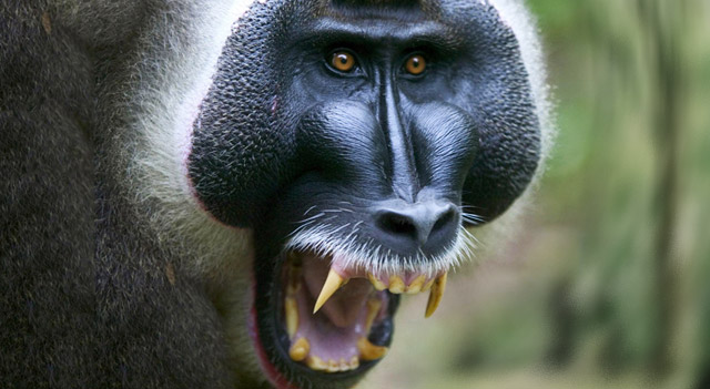 Baboons Facts, Breeds, Habitat, Diet And Pictures
