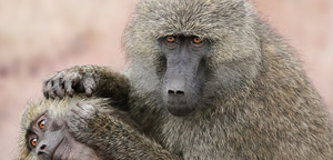 Baboon With Baby Picture