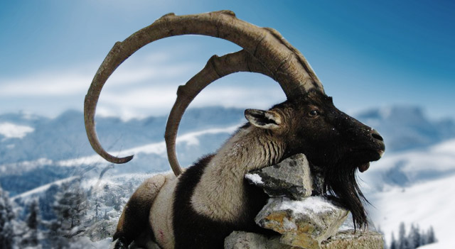 Types of Goats - Bezoar Ibex