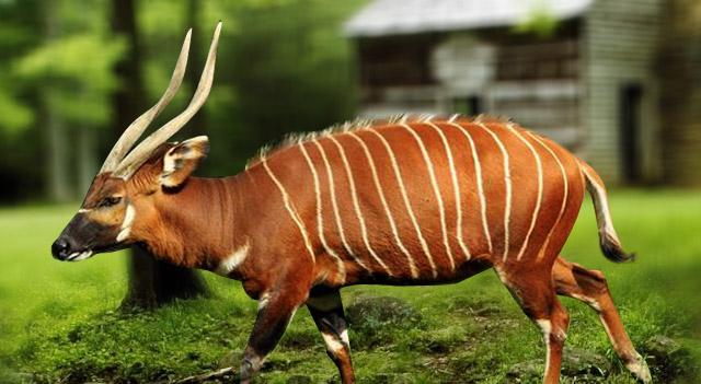 [Image: bongo-animal-picture.jpg]