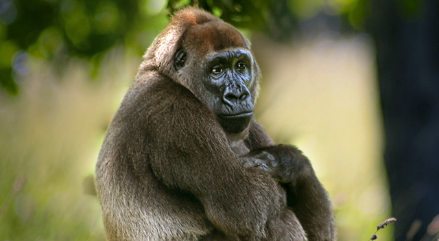 gorilla facts and pictures