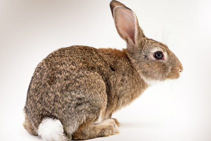 Brown color Rabbit Picture