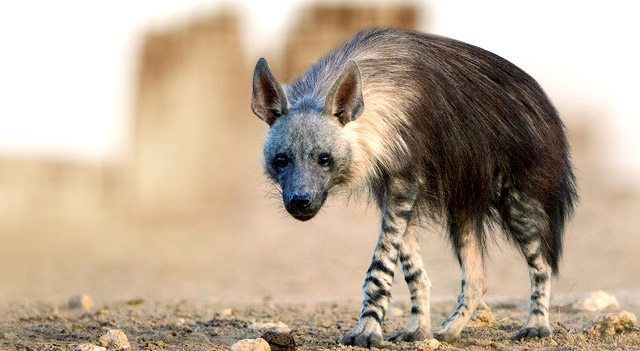 Facts About Hyenas - Brown Hyena