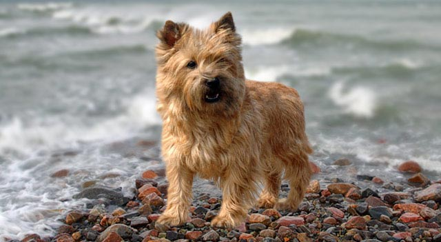 Cairn Terrier Smallest Dog
