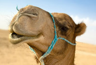 Camel Are Cry