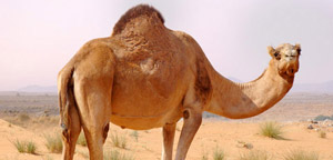 Camel In The Desert Area