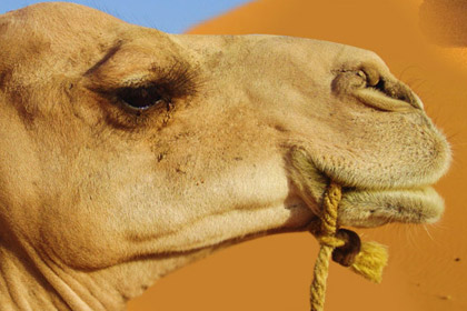 Camel Is Shedding Tears