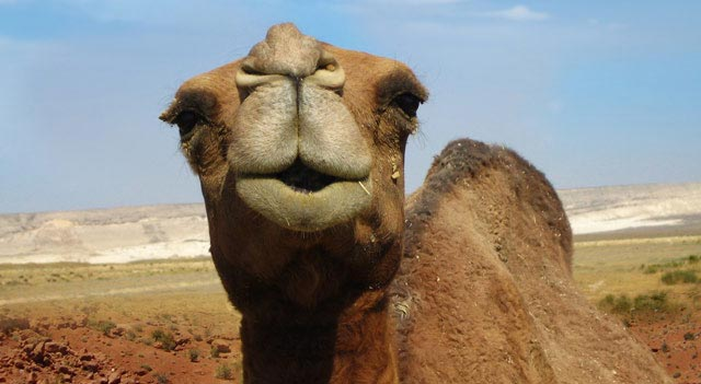 Camel Mouth View