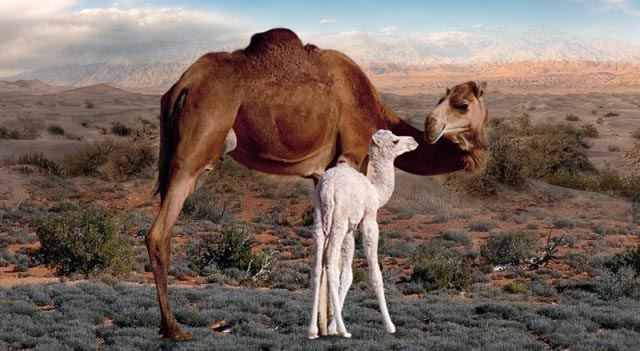 Camel With Child