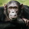 Chimpanzees Facts, Breeds, Habitat, Diet And Pictures