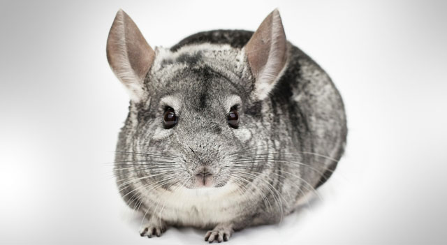 Chinchilla Are Gazzing View Pictures